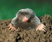 Moles Destroy Gardens