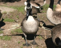 Geese aren't so pretty if you have to live with them