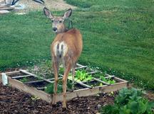 Deer destroy gardens and landscapes