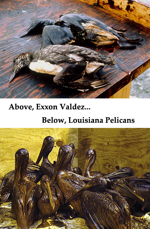 dead and dying oil covered birds
