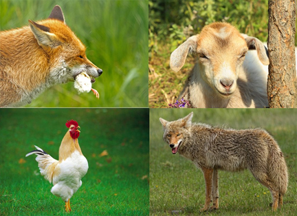 fox eating chick, goat, chicken, wolf,